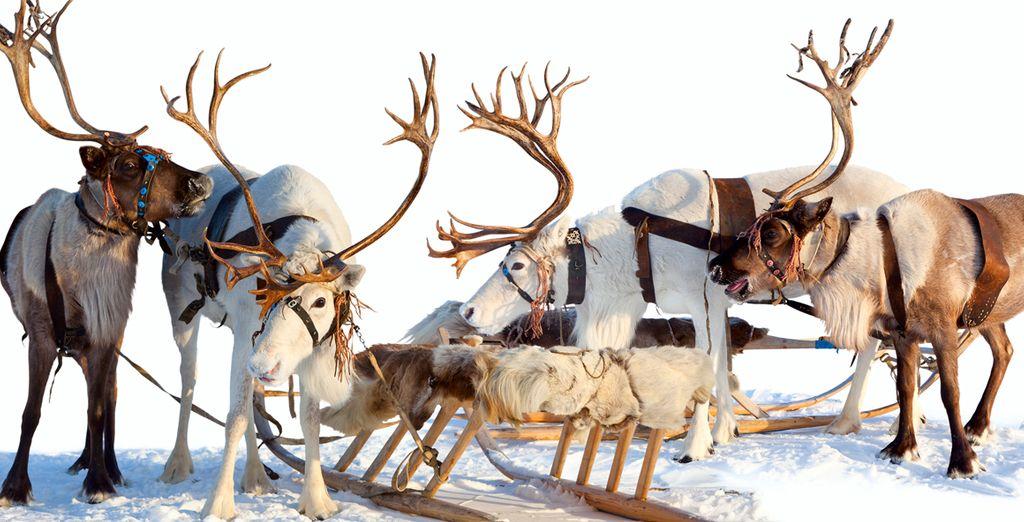 Los renos son el símbolo de Laponia y los mejores ayudantes de Santa Claus