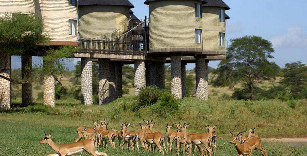 Disfrutarás de una noche en el Sarova Saltlick Lodge durante el safari de dos días