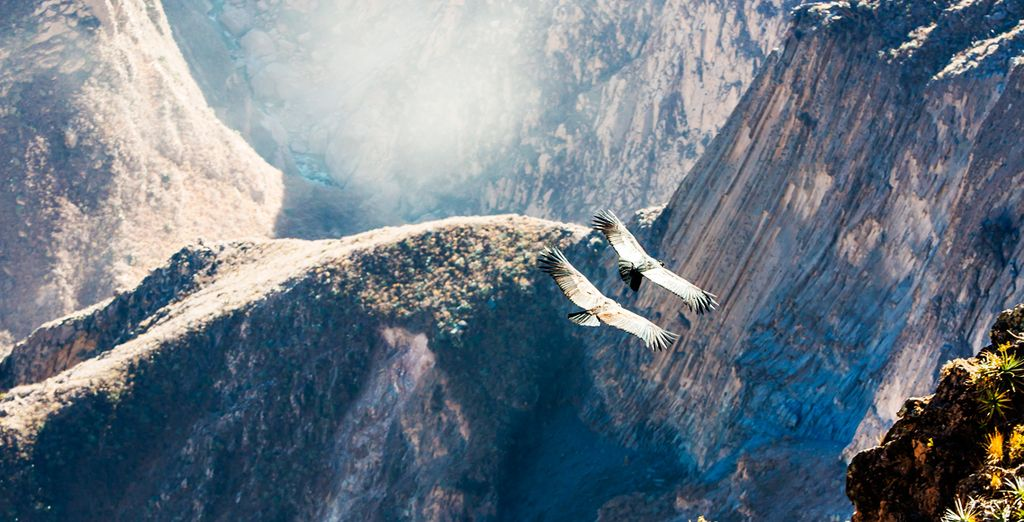 En Colca podrás avistar aves cóndor sobrevolando las colinas