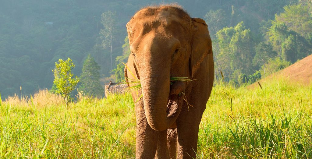 Descubre el hogar de los elegantes ancianos de Thai Elephant Care Center