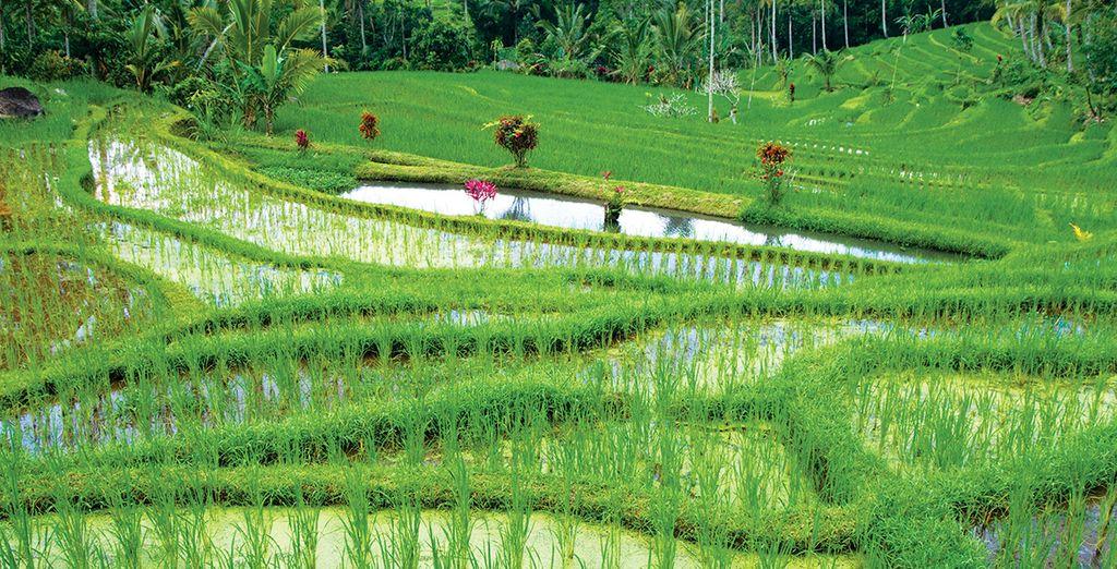 Que créent les rizières à perte de vue