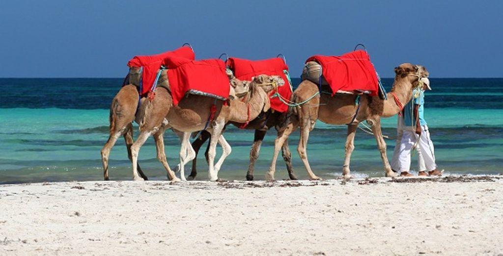 Tentez l'aventure d'une balade en chameaux