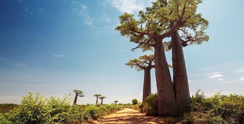 Photographie de l'allée des Baobabs, Madagascar