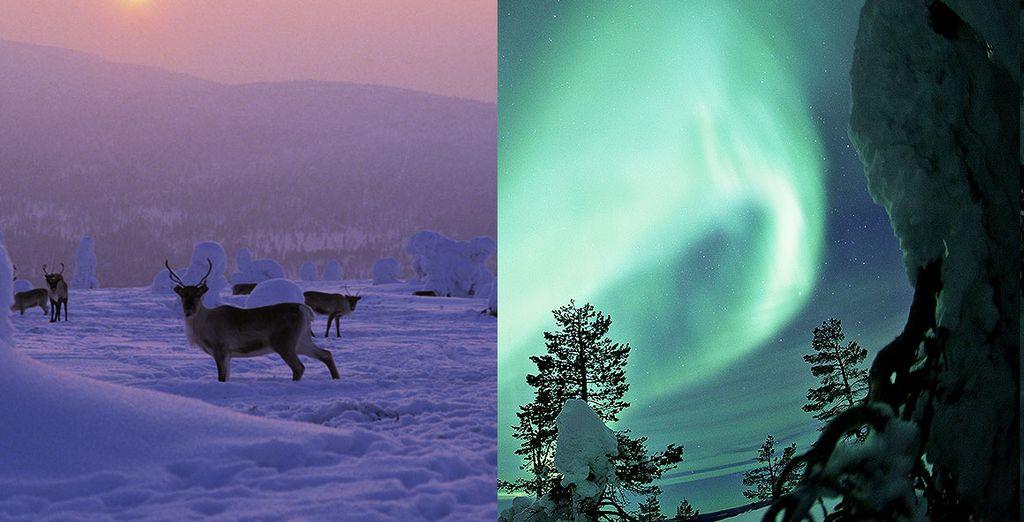 Dans le froid cristallin de Laponie...
