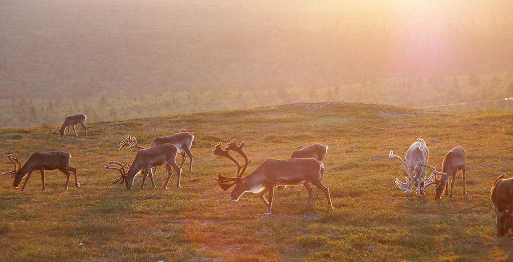 Suivez-nous en Laponie finlandaise, le pays du soleil  de minuit - Séjour multi-activités en Laponie finlandaise Kuusamo
