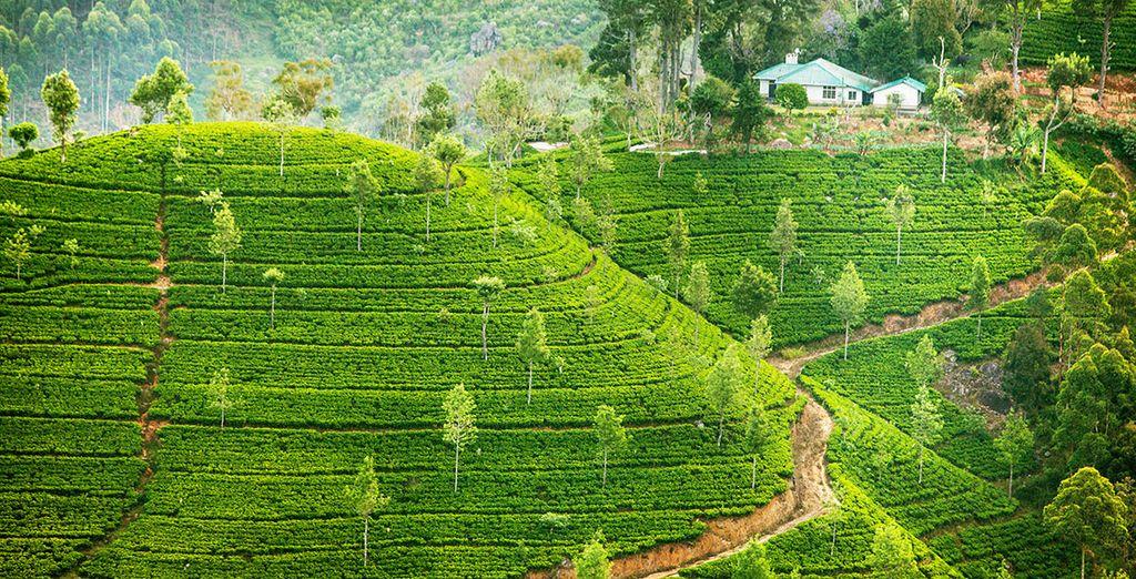 tra le piantagioni di tè che caratterizzano il paesaggio