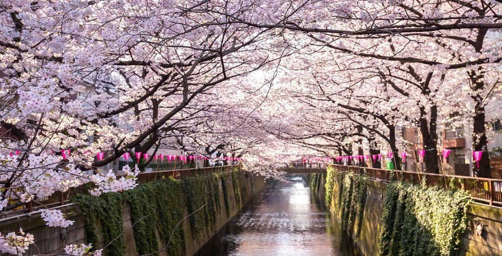 Non dimenticherete in fretta il paese dei ciliegi in fiore
