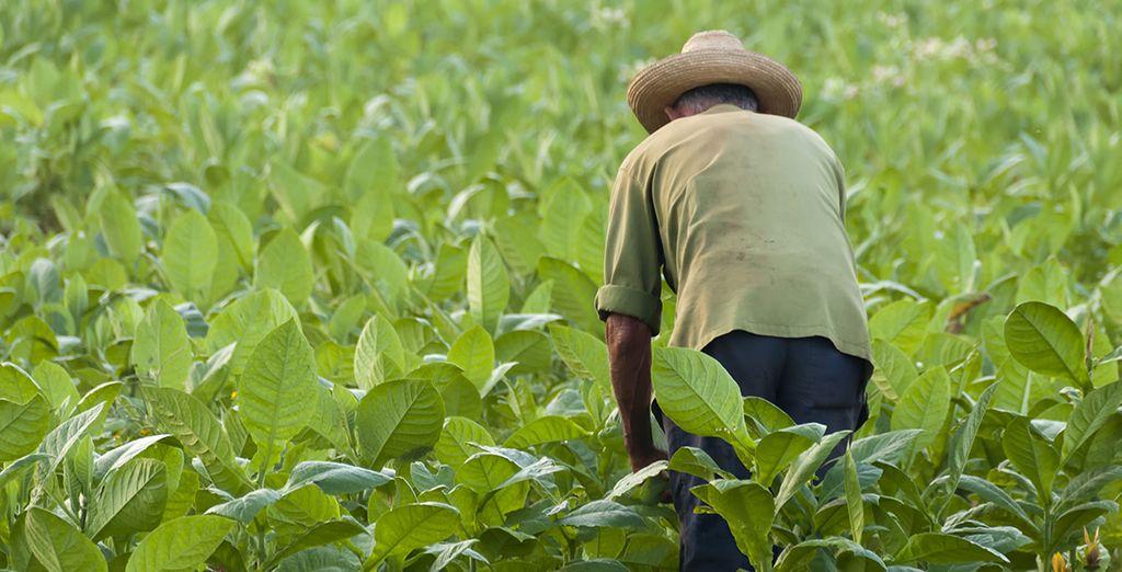 Het agrarische hart van Cuba