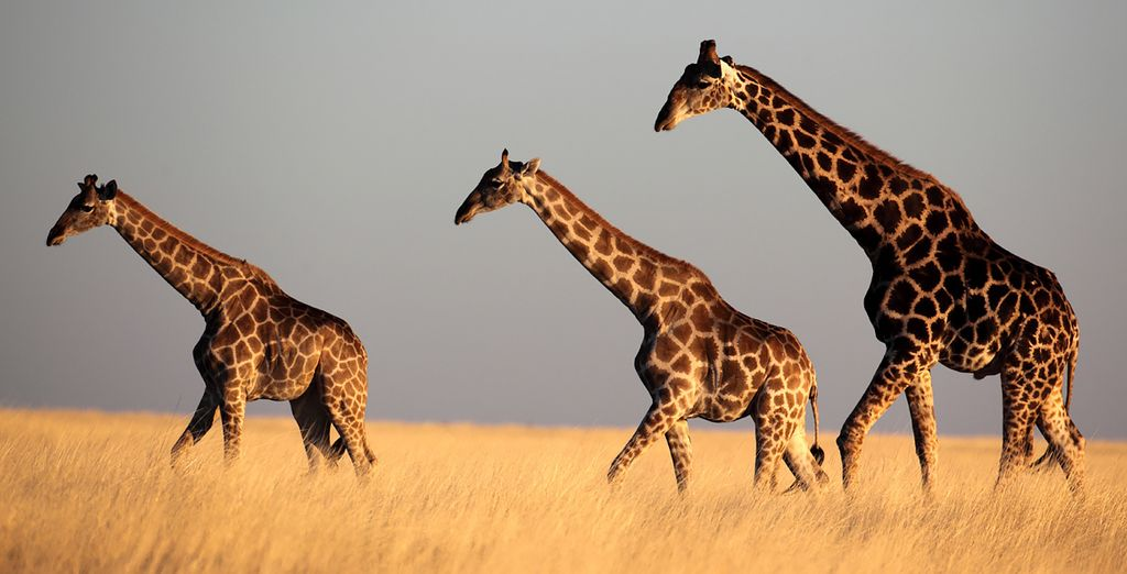 Visit game reserves which boast towering giraffes