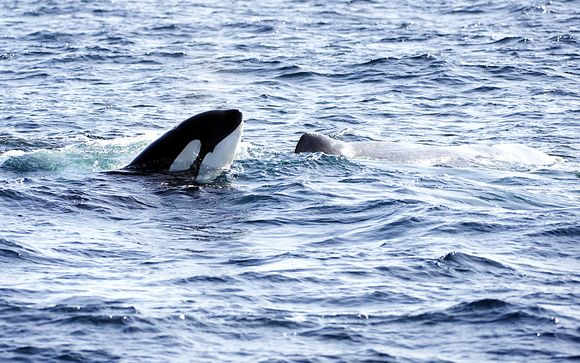 Spot Whales, Orcas, Puffins and More in Northern Norway